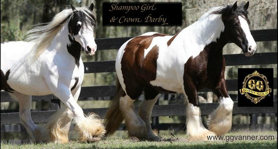 Ocala, FL: We have some of the best Gypsy Vanner Horses in the country!
