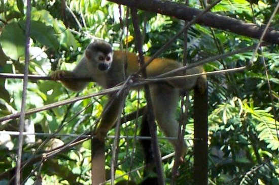 Jungle Creek: titi monkeys came dailly to say hello