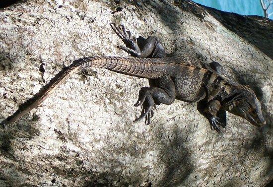 Jungle Creek: iguanas and lizards around the creek and gardens.