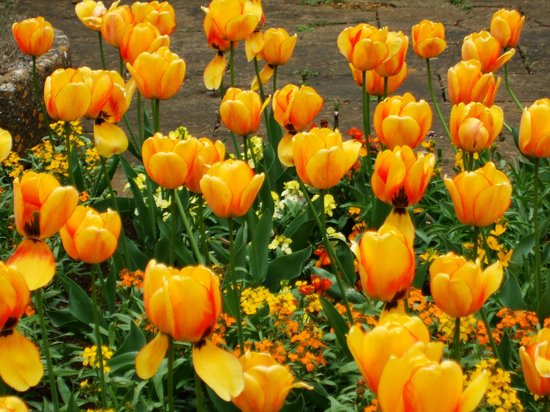 Upton House: tulip time!