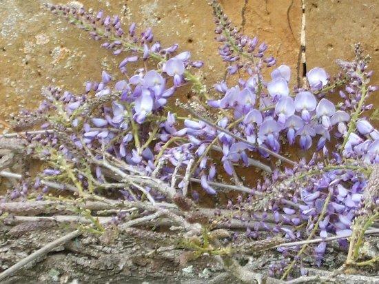 Upton House: wisteria