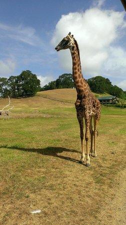 Safari West : Giraffe friend