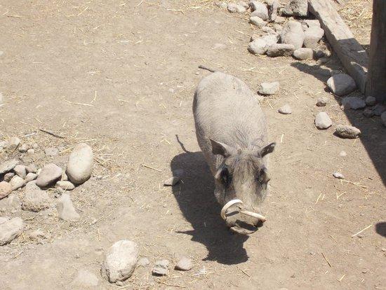 Safari West: Lulu