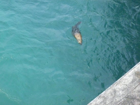 Grand Pacific Hotel Lorne: Seals swimming from the jetty