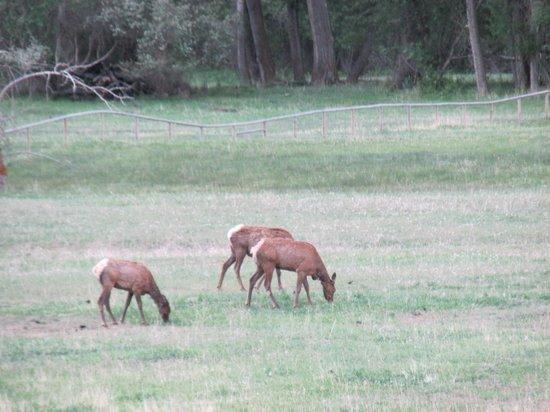 100 Acre Wood Lodge: Across the field... Elk