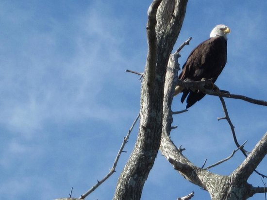 Old Fashioned Airboat Rides: Bald Eagle