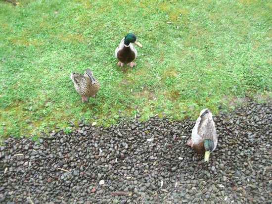 Days Inn Lockerbie Annandale Water: Breakfast with the ducks who visited out room