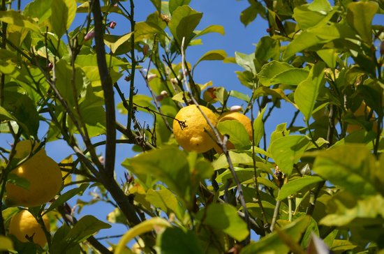 Vila Horizonte: Lemons in the garden