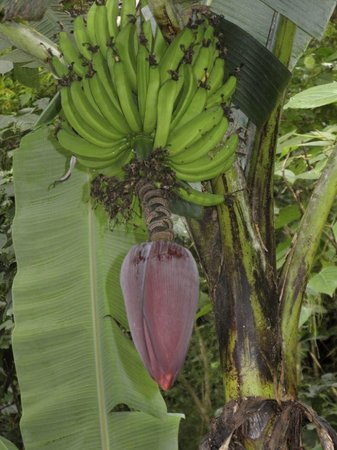 Massage and Day Spa at The Haven: Banana trees in the back of Spa along with other fruit trees