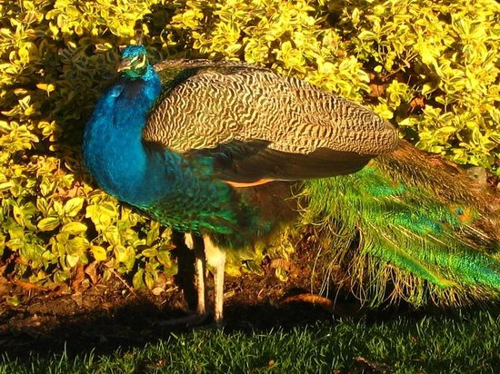 John Lewis House B&B: Peacock in nearby Beacon Hill Park