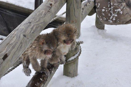 Jigokudani Snow Monkey Park: monkey play