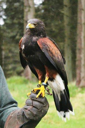 Phoenix Falconry : Beautiful birds