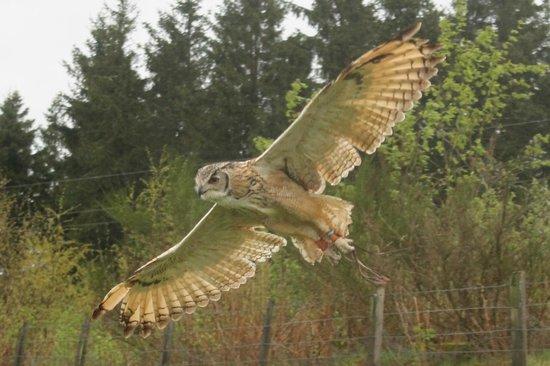 Phoenix Falconry : The Himalayan Eagle Owl,,,