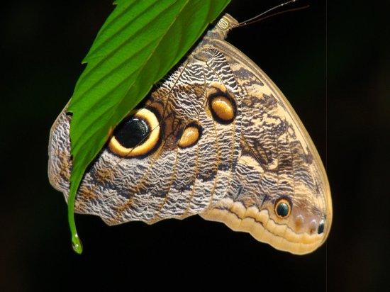 Danta Corcovado Lodge: Owl butterfly