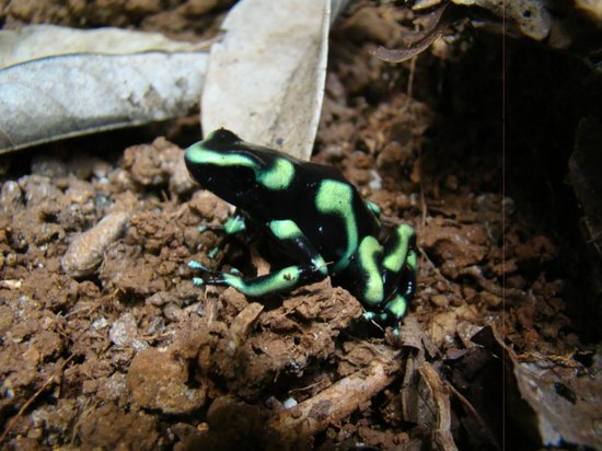 Danta Corcovado Lodge: Poison dart frog on Huellas trail at DCL