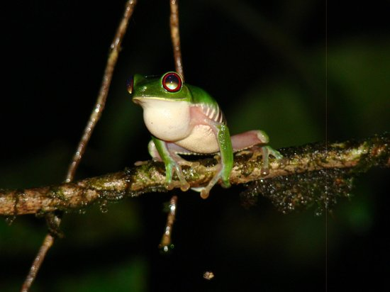 Danta Corcovado Lodge: Red-eyed treefrog calling from the bank of the lagoon