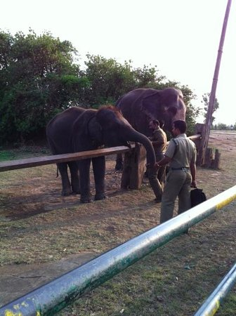 Gouri Farms: Elephant feeding at Mudumalai near Gudalur