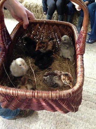 Shortwood Farm: chicks