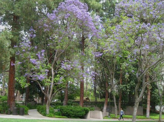 Franklin D. Murphy Sculpture Garden : Jacaranda Trees in full bloom - May 2013