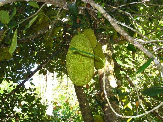 Tiskita Jungle Lodge : Jackfruit in the Fruit Orchard