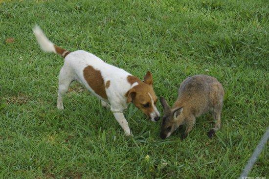 Dag Sheep Station: Dog and Wallaby