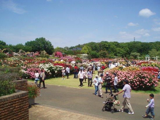 Keisei Rose Garden: keiseibaraenn takadaiyori