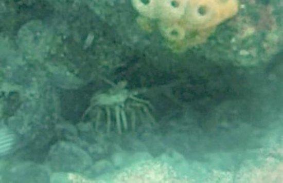 Seamonkey's Scuba Diving: Spiny Lobster On Islamorada's Alligator Reef