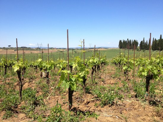 Relais Villa Baldelli: Vine yards