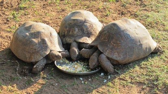 Riverbend Crocodile Farm: tartarughe