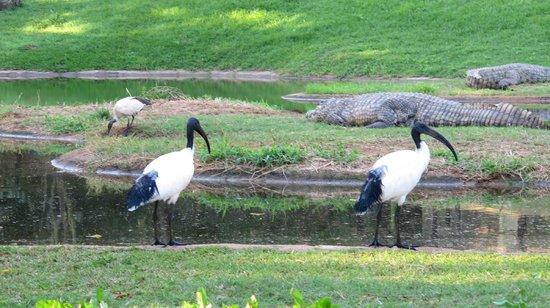 Riverbend Crocodile Farm: ibis