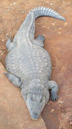 Riverbend Crocodile Farm: coccodrillo