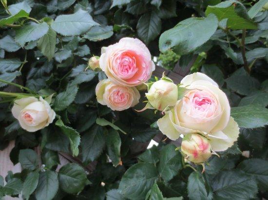 Aramaki rose garden: ピエールドロンサール