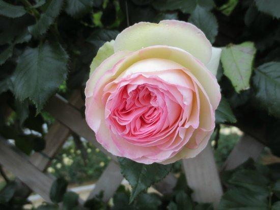 Aramaki rose garden: ピエールは庭園左側のエリア上段にあります。
