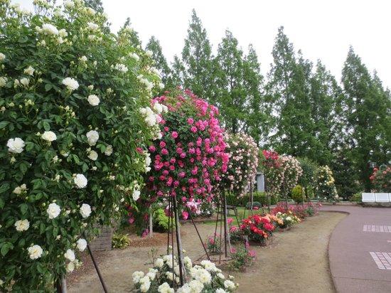 Aramaki rose garden : 昨年より早めの開花でした。