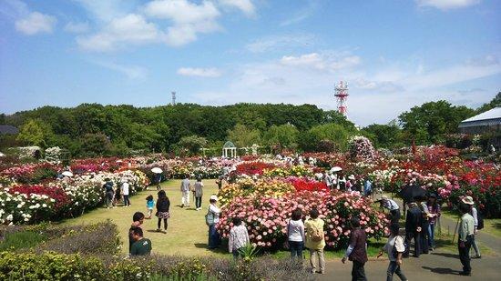 Keisei Rose Garden: バラが満開