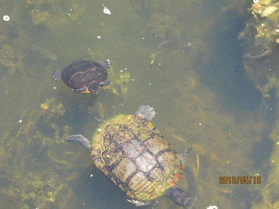 Νιούπορτ Νιουζ, Βιρτζίνια: Baby turtle