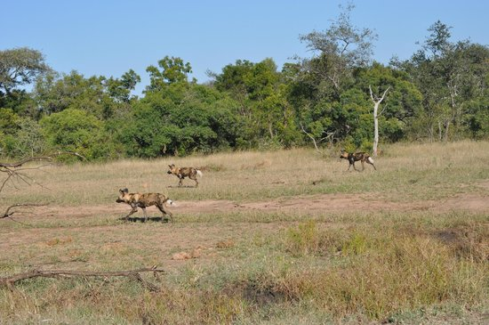 andBeyond Ngala Tented Camp: Wild dogs