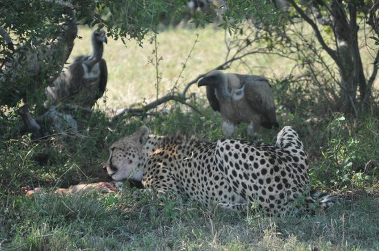 andBeyond Ngala Tented Camp : Cheetah feeding & vultures