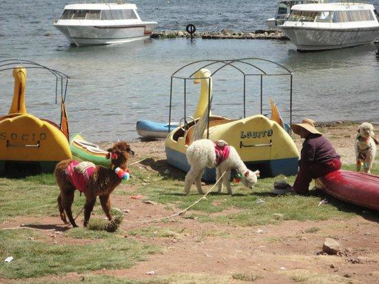 Hostal Colonial del Lago: Lake Titicaca / Alpaca