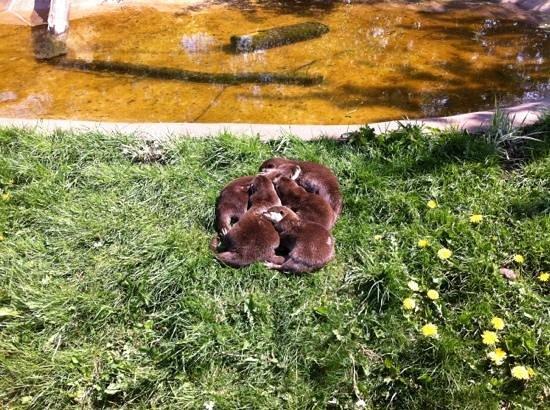Twycross Zoo : otters cuddling up in the sun