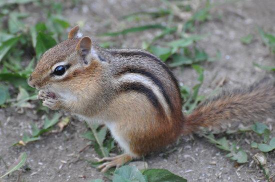 Canoe Meadows Wildlife Sanctuary : Chipmunk Sighting