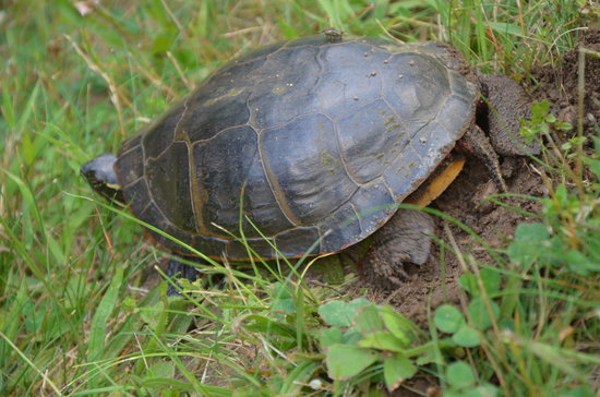 Canoe Meadows Wildlife Sanctuary : Turtle laying her eggs right on the trail!