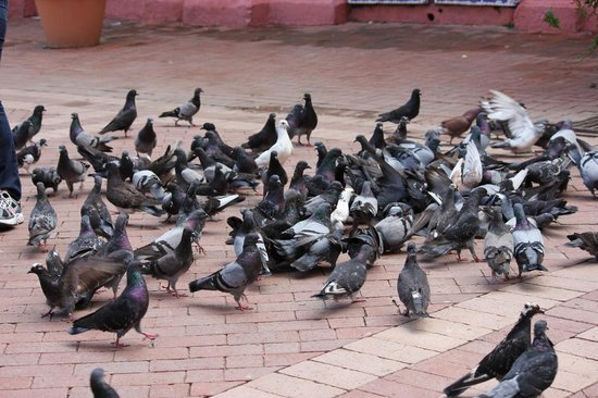 St. Catherine of Alexandria Cathedral: Lots of Pigeons looking for a hand-out.