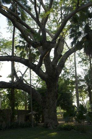 Hotel & Bungalows Mayaland: Arbre centenaire