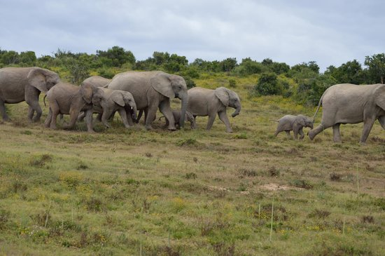 The Colonial on Arundel: Elefanten im Addo Elephant Park