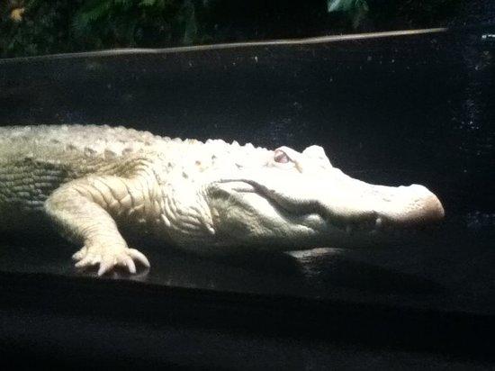 Alligator Alley Adventures: Albino Gator