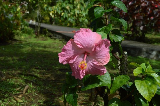Jardín Balata: Hibiscus