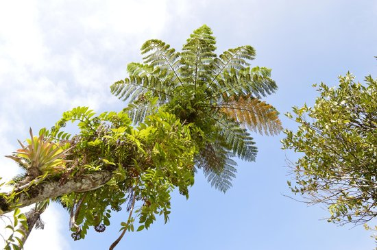 Jardin de Balata: Fougère arboressante