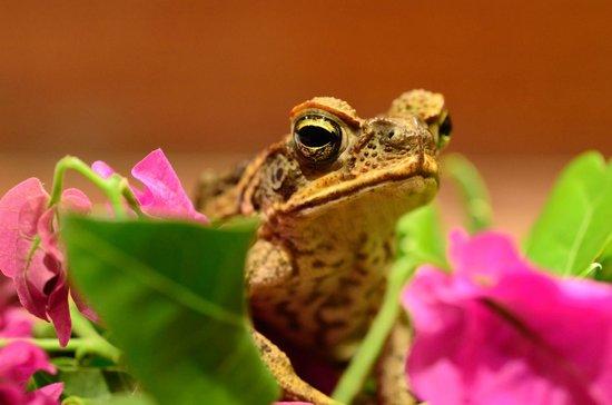 Musket Cove Island Resort: frog in my room