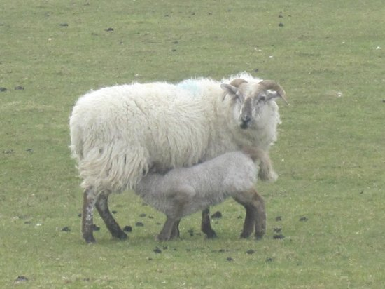 Temple House: Mother sheep with lamb